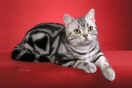 American Shorthair - Wild and Pet