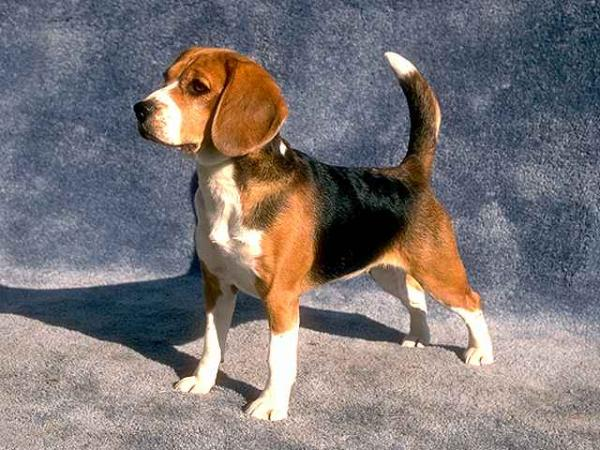 Beagle - Wild and Pet