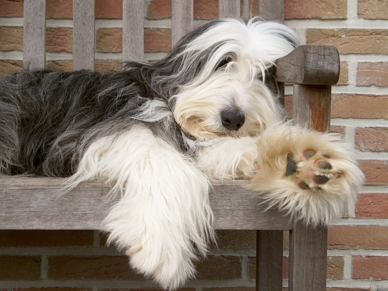 Bearded Collie - Wild and Pet