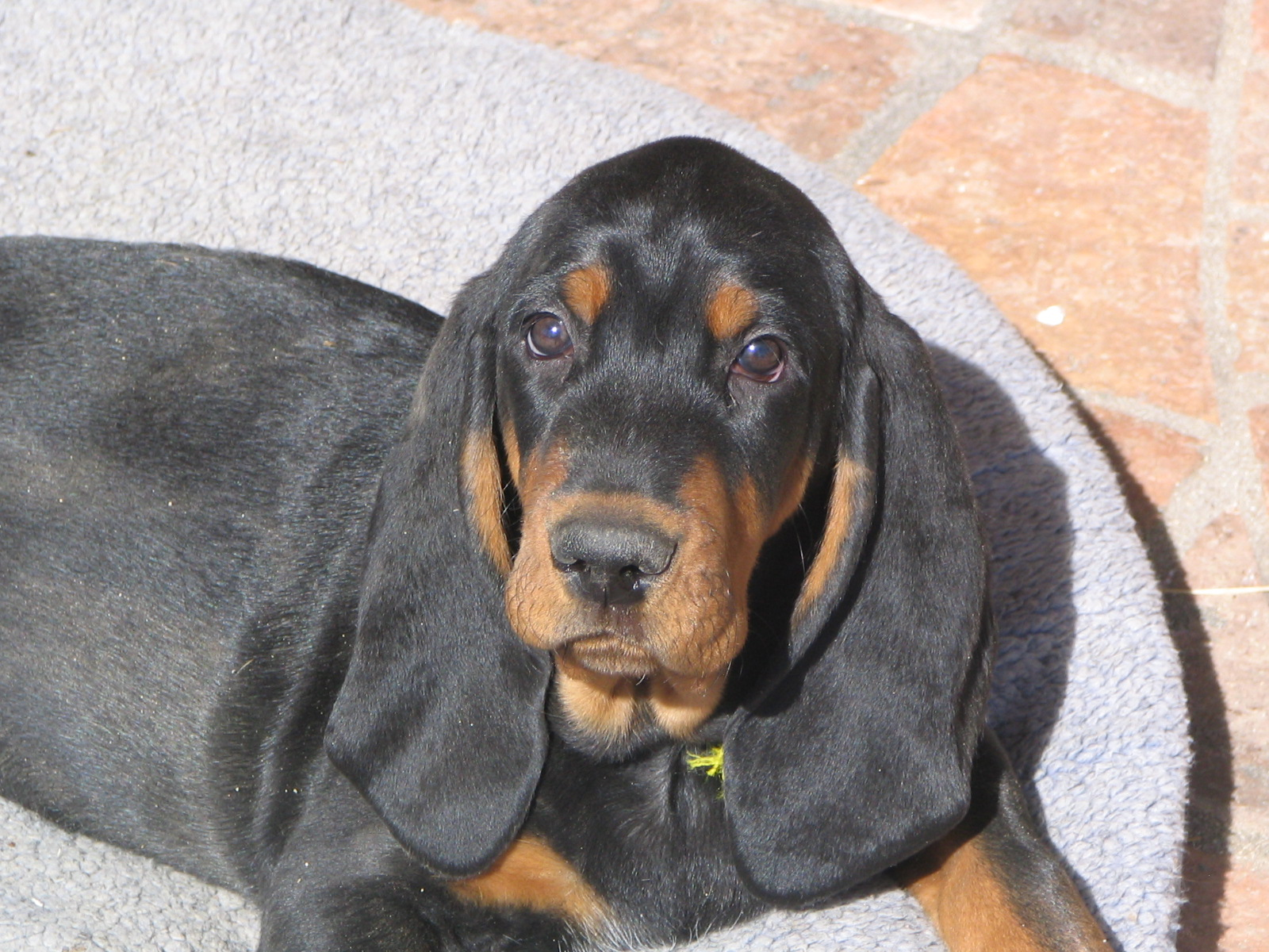 Black and Tan Coonhound - Wild and Pet