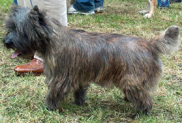 Cairn Terrier - Wild and Pet