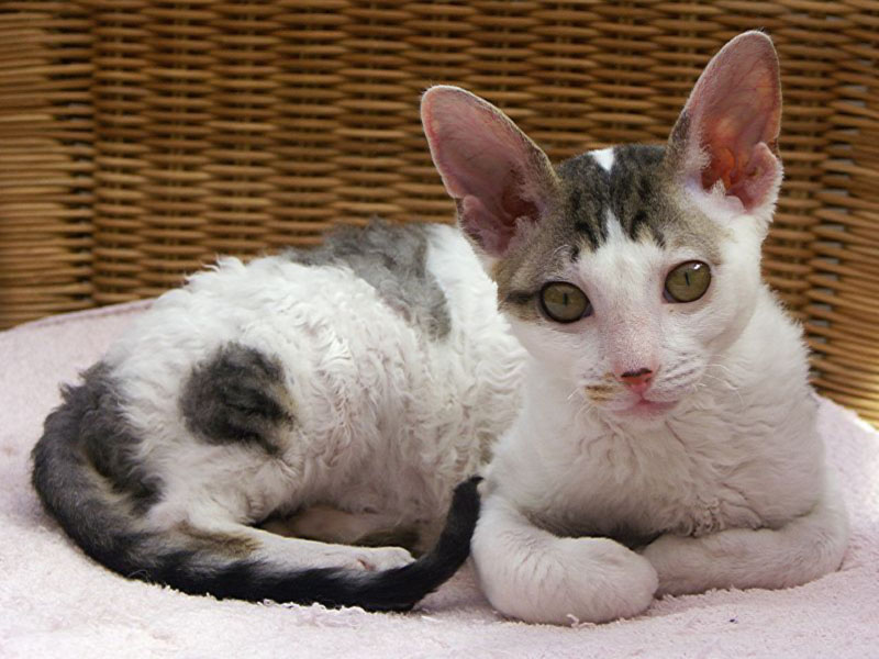 Cornish Rex - Wild and Pet