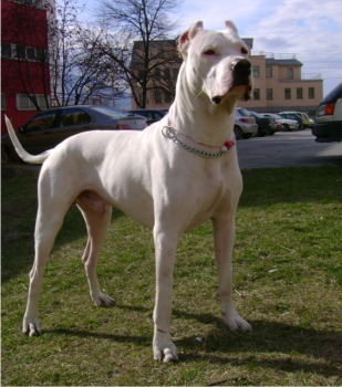 Dogo Argentino - Wild and Pet