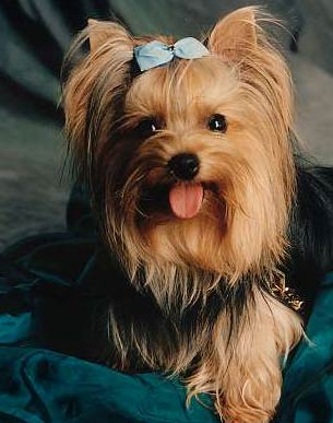 Yorkshire Terrier - Wild and Pet